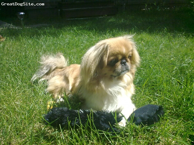 Pekingese, Approx. 1 yr., Redish brown, Believe it or not, I got this amazing princess from a rescue shelter.  She is approximately a year old and is the love of my life.  I always wanted a peke, but was even happier that I could give one a home who was despirately in need of one.  She is extremely loveable and playful, complete dedicated, and gets along with everything and everyone.  She spends a lot of time sleeping on the backs of my pot belly pigs, or curled up on the back of the chair with the cats.  She is a true blessing.