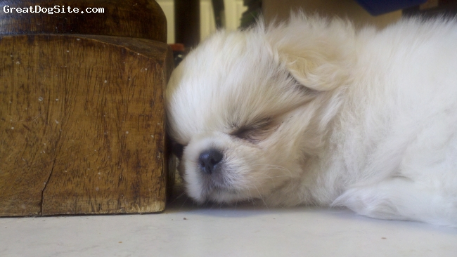 Pekingese, 10 weeks, White, Precious 10 Week old baby tired out from playing with our Schipperke, Lily.
