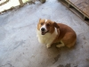 Pembroke Welsh Corgi, 7, Red & White