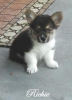 Pembroke Welsh Corgi, 9 weeks, Tri color