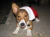 Pembroke Welsh Corgi, 1.5, Sable