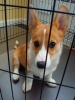 Pembroke Welsh Corgi, 5 months, Sable