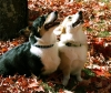 Pembroke Welsh Corgi, TRI 3 YEARS RED 1 YEAR, BHT MALE / RED/WHITE FEMALE