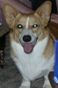 Pembroke Welsh Corgi, 1 year 9 months, blond and white