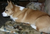 Pembroke Welsh Corgi, 21 months, red and white