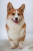 Pembroke Welsh Corgi, 3, red