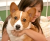 Pembroke Welsh Corgi, 2, orange with white markings