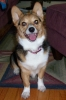 Pembroke Welsh Corgi, 4 Years, Tri-Color