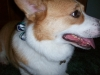 Pembroke Welsh Corgi, 5 on Christmas eve, red