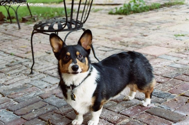 Pembroke Welsh Corgi, 2 years old, tri color, This is my moms baby