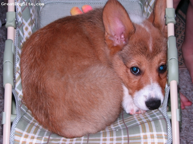 Pembroke Welsh Corgi, 3 months, Sable, Cam and Yes that is a DOLL carriage