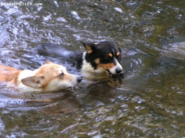 Pembroke Welsh Corgi, TRI 3 YEARS RED 1 YEAR, BHT MALE / RED/WHITE FEMALE, FUN IN THE SUN FOR THESE TWO CORGI'S ITS NOTHING BUT SWIMMING AND WATER! TUBBS AND ALLIE ENJOY AN AFTERNOON SWIM..