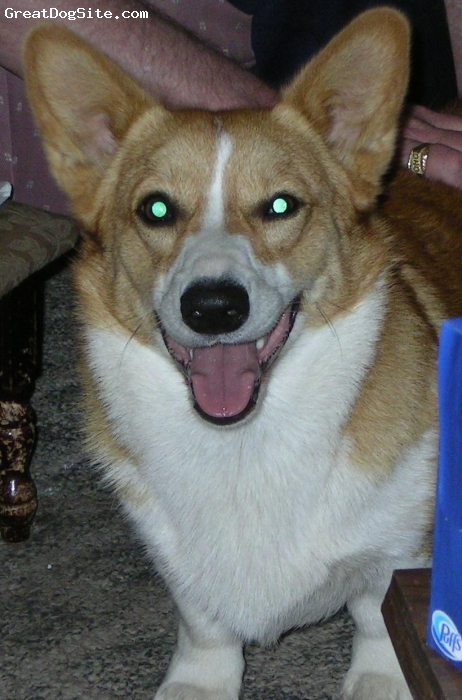 Pembroke Welsh Corgi, 1 year 9 months, blond and white, Beau is almost 2 now, blond and white, small with 4 white paws, weighs about 26 pounds. He's full of energy, very independent, doesn't like to be held or made over. Loves to be outside!