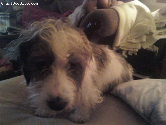 Petit Basset Griffon Vendeen, 2.5, white / gray, Lovable, playful, cuddly.  Totally Awesome!