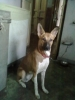 Pharaoh Hound, 1 year 9 months, tan brown color with white legs