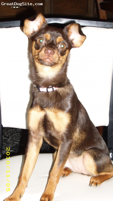 Pineranian, 18 months, Brown/tan, Very energetic.  Loves to play with everything.  Needs lots of attention.