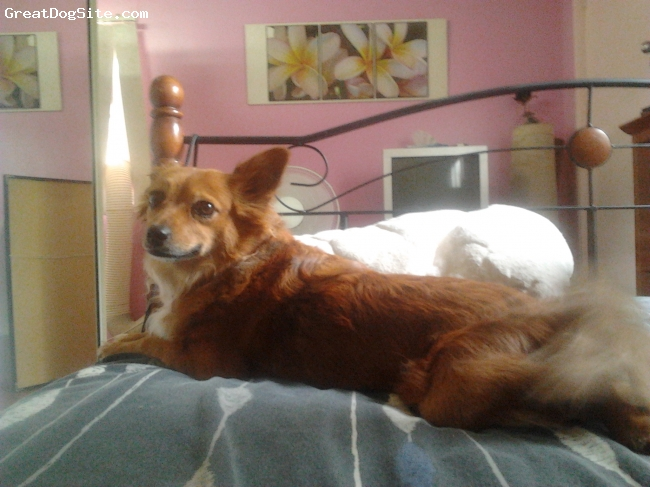 Pineranian, 3, red, Paperanian small dog, black and blonde tail, white chest and red body. lone hair.