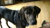 Plott Hound, 6 mos., Brindle with Black Saddle