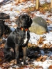 Plott Hound, 2 years, Black Brindle White chest