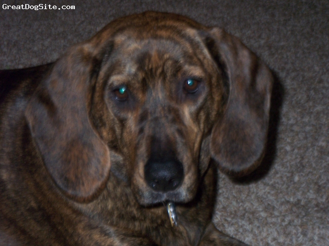 Plott Hound, 3, bryndel, she is a loving and funny dog shes broght so much happeness in to my life