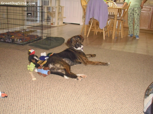 Pointer, 1yr 3 months, brindle, We would like to know what kind of dog she is. We   were told lab/shephard. Can you help?