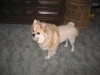 Pom-A-Pug, 5 yrs., cream color