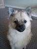 Pom-A-Pug, 10 months, fawn