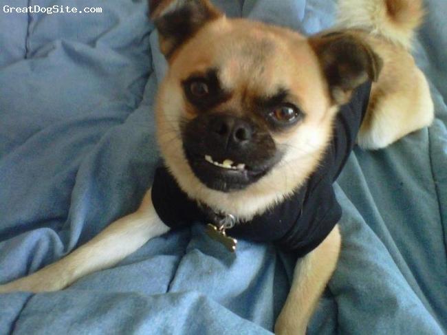 """Pom-A-Pug, 2 años, Amarillo, Busco novia pom a pug !!!! Soy joven,guapo,inteligente,y todo un caballero,si sabes de una perrita pom a pug, puedes mandarle un email a mi papá... Gracias!!!!  """"lfdelgadoaldaco@gmail.com"""""""