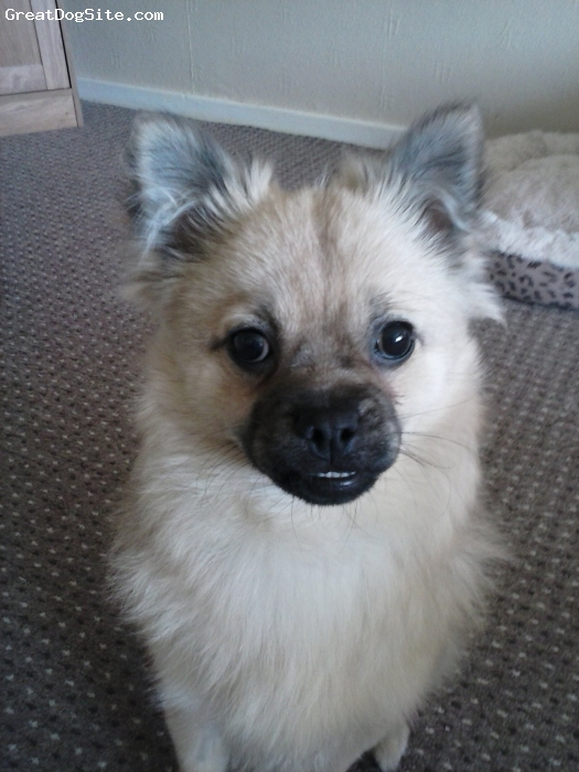 Pom-A-Pug, 10 months, fawn, Long hair like a pomeraianian buid of o pug with underbite and curly tail