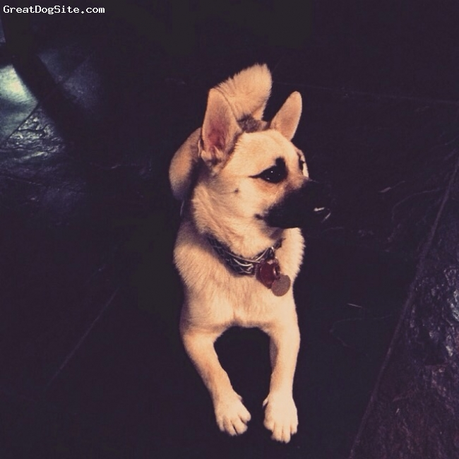 Pom-A-Pug, 1, Tan, Very high maintenance but a sweetheart