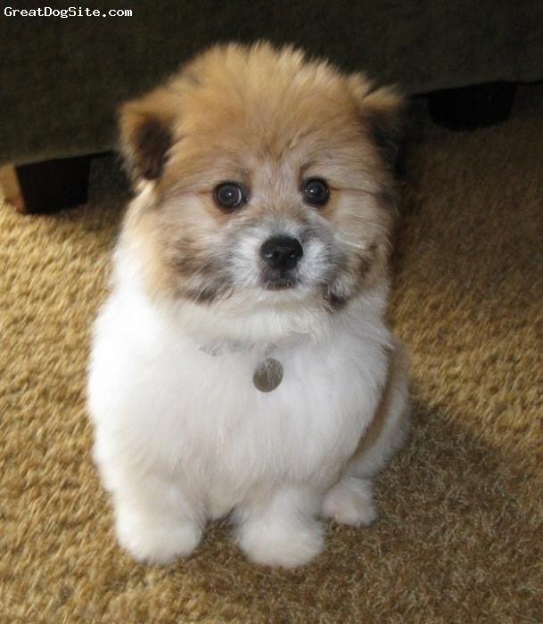 dog breeders pom coton