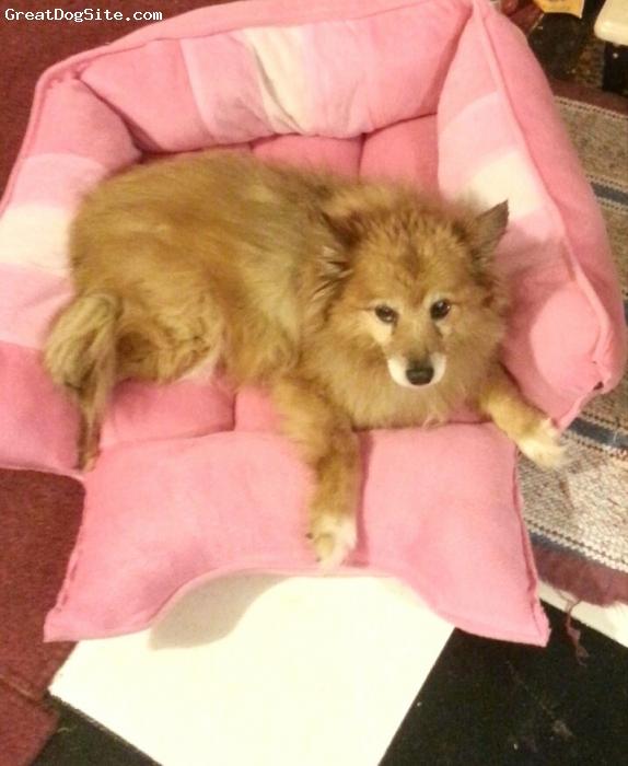 Pom-Coton, 17, mixed, Adorable baby girl! She's half pomeranian and half sheltie!