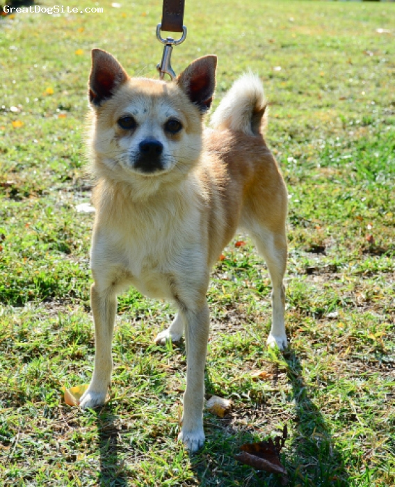 Pom-Shi, 3 yrs, Red Sesame, Stewart is a rescue.  His mother was a blonde pom.  He has the body of a Shiba Inu with the eyes/nose/mouth of a pomeranian.  Also he's a smaller size than most Shibas.