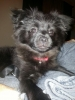 Pomapoo, 6 months, Black