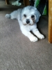 Pomapoo, 1.5yts, Grey & White