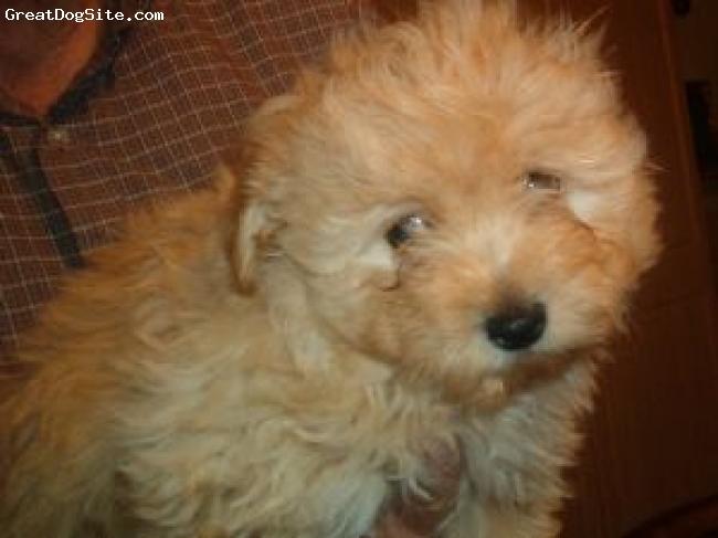Pomapoo, 8 weeks, cream, little guy