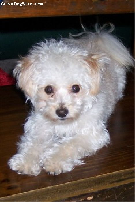 Pomapoo, not specified, white, cute dog