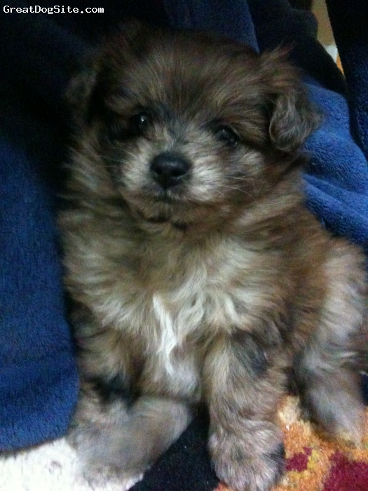 a photo of a 8 weeks old mix pomapoo female pomapoo