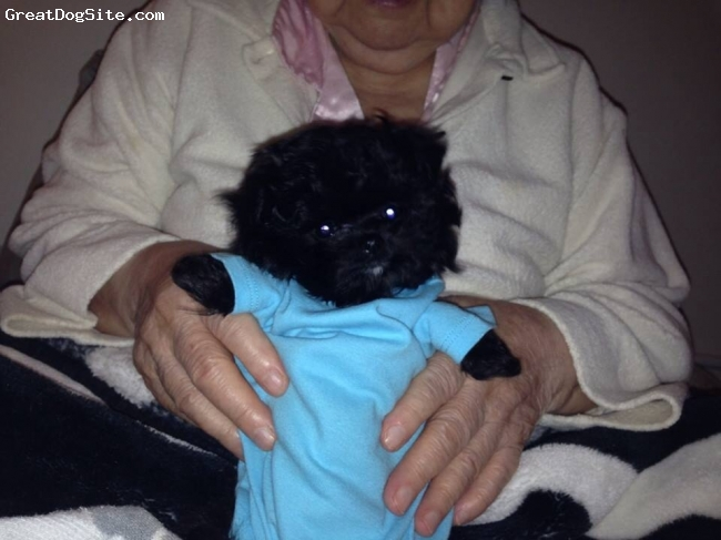 Pomapoo, 10 weeks, Black, Black Pomapoo with white patch on chin! Too cute super smart