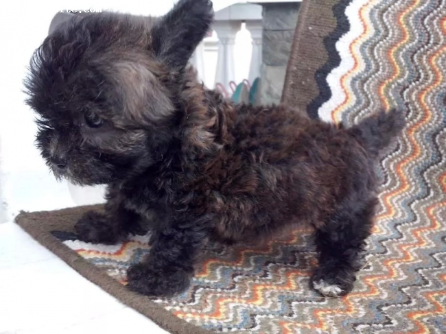 Pomapoo, 2 months, black and brown, Patch is my 1st hybrid breed dog i got it for my girl..