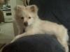 Pomchi, 5 months, white