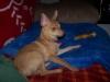 Pomchi, 11 months, red