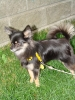 Pomchi, 19 months, black with tan legs & markings