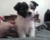 Pomchi, 2 1\2 months, black, white with brown