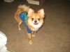 Pomchi, 7 months, red