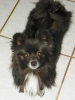 Pomchi, 2 years, Black with white