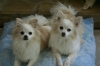 Pomchi, 8, Tan and White