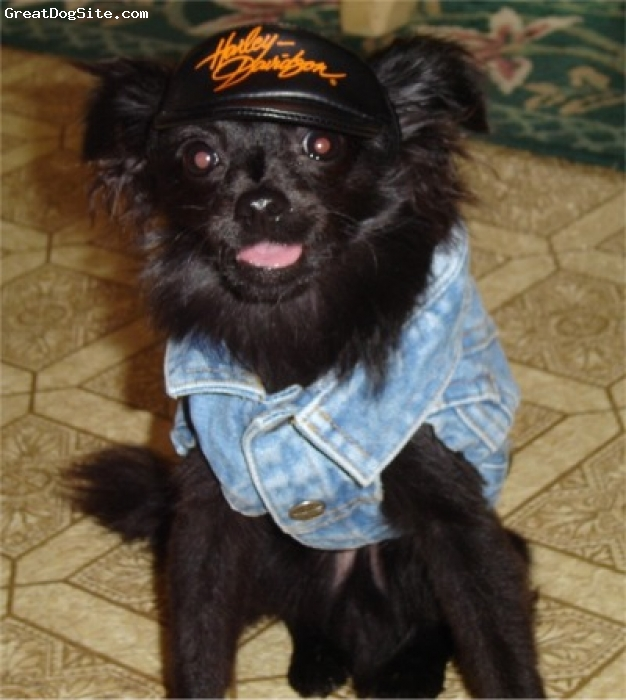 Pomchi, not specified, black, hanging out
