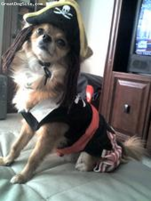 Pomchi, 4, red, Tipsy is a 4 year old pomchi and is much loved by his family.  He looks like a red fox.