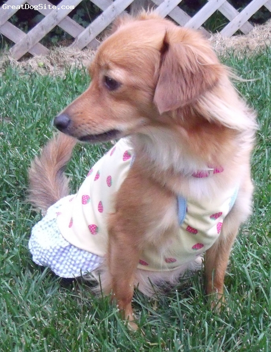 Pomchi, 17 months, Cinnamon and Sugar, Cinni  is our only girl in a family of three Dogs. She can be a real girlie or a real tomboy. She is great tempered, active, and well behaved sweetie. She is pregnant with four pups in this pic. This will be her first pregnancy.